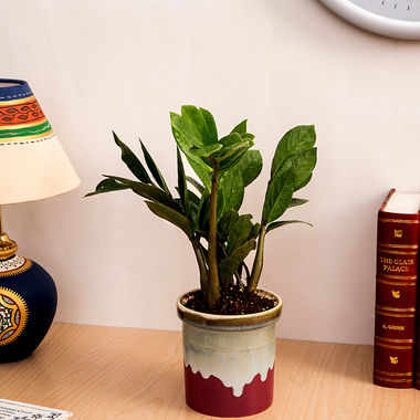 Exotic Green Oxygen &  Air Purifier Indoor Zamioculcas Plant