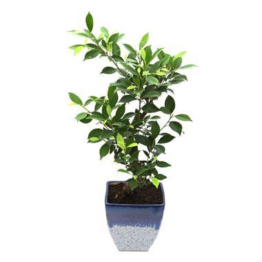 Exotic Green Pretty S Shape Ficus 3 Year Bonsai Plant White & Blue Pot