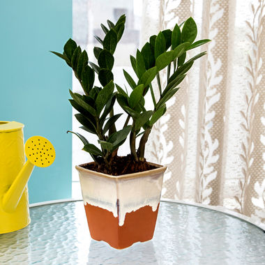 Exotic Green Oxygen & Air Purifier Indoor Zamioculcas Plant