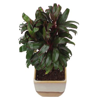 Exotic Green Indoor Plant Cordeline in Cream & Cookie Ceramic Pot