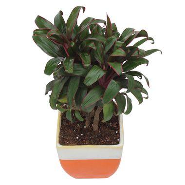 Exotic Green Indoor Plant Cordeline in My Orange Ceramic Pot