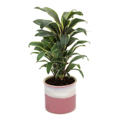 Exotic Green Cordyline Indoor Plant Barbie Pink Pot