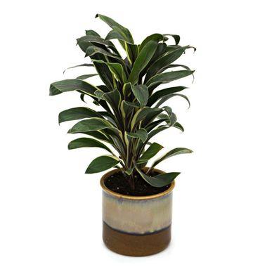 Exotic Green Cordyline Indoor Plant Choco Brown Pot