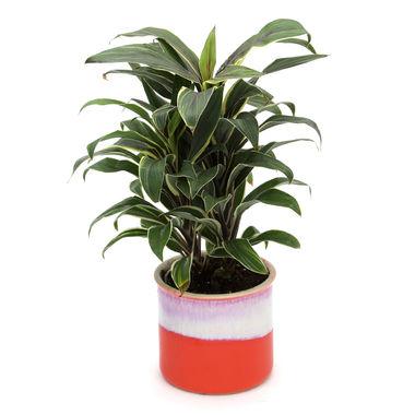 Exotic Green Cordyline Indoor Plant My Orange Pot