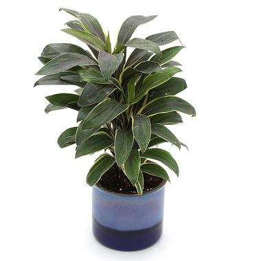 Exotic Green Cordyline Indoor Plant Ocean Blue Pot