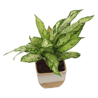 Exotic Green Indoor Oxygen Air Purifier Dwarf Green Aglonema Plant