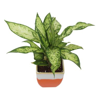 Exotic Green Indoor Oxygen Air Purifier Dwarf Green Aglonema Plant