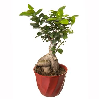 Exotic Green Ficus 4 Year Old Grafted Ficus Bonsai Plant in Pot