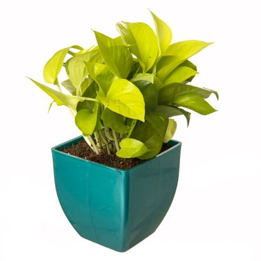 Exotic Green Oxygen & Air Purifier Indoor Plant Golden Pothose