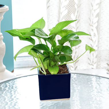 Exotic Green Oxygen & Air Purifier Indoor Plant Golden Pothose