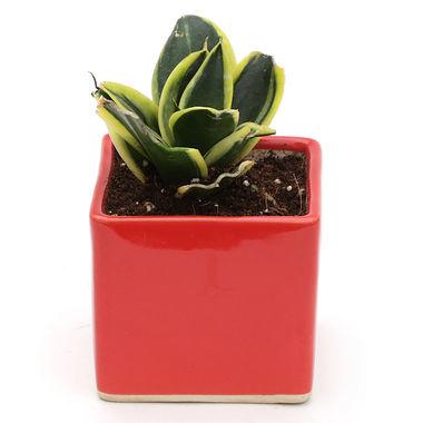 Exotic Green Indoor Oxygen & Air Purifier Plant MILT