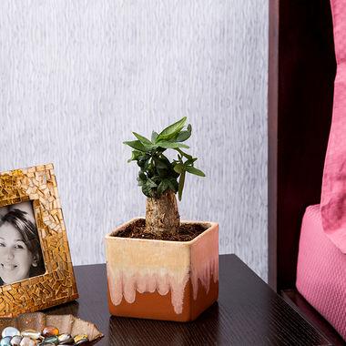 Exotic Green Feng Shui Indoor Plant Money Tree