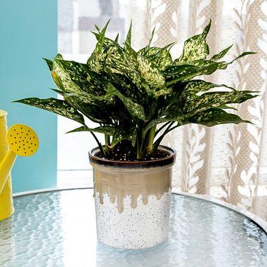 Exotic Green Indoor Plant Green Aglaonema in Pot