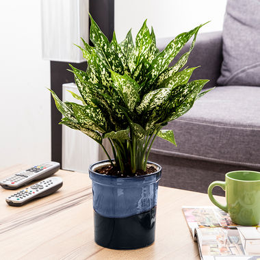 Exotic Green Indoor Plant Green Aglaonema in Pot