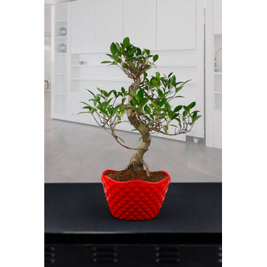 "Exotic Green 5 Year Old ""S"" Shape Ficus Bonsai Plant"