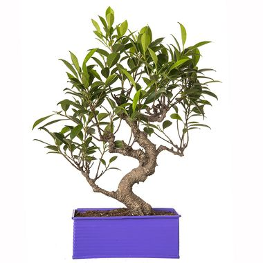 """Exotic Green 6 Year Old """"S"""" Shape Ficus Bonsai Plant"""