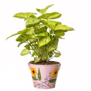 Exotic Green Indoor Plant Lemon Syngonium in Pot