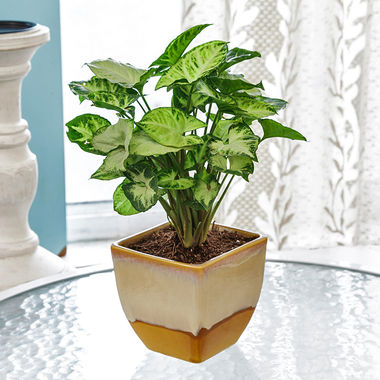 Exotic Green Syngonium Hybrid Indoor Plant in Pot