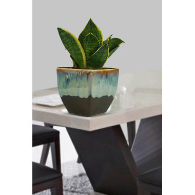 Exotic Green Indoor Plant Pink Syngonium in Ceramic Pot