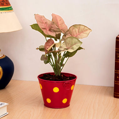 Exotic Green Indoor Plant Pink Syngonium in Metal Pot