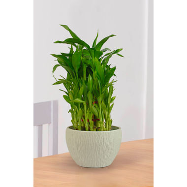 Exotic Green Feng Shui 3 Layer Bamboo Indoor Plant