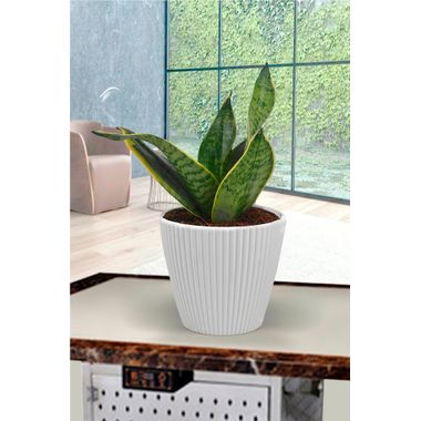 Exotic Green Indoor Oxygen & Air Purifying Plant Sansevieria or Mother-in-Law's Tongue