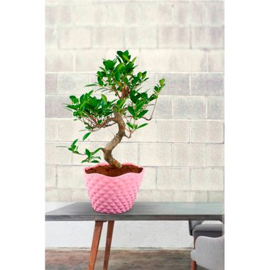 """Exotic Green 5 Year Old """"S"""" Shape Ficus Bonsai Plant"""