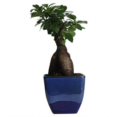 Exotic Green Semi Indoor 3 Year Old Grafted Ficus Bonsai Tree