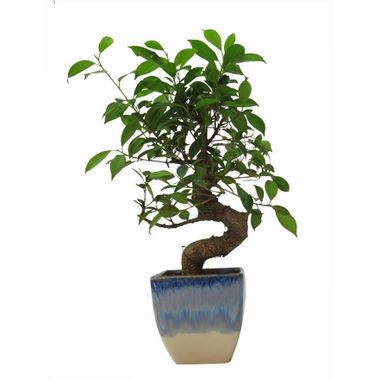 """Exotic Green 3 Year Old """"S"""" Shape Ficus Bonsai Plant"""