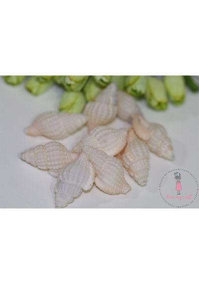 Natural Sea Shells 1