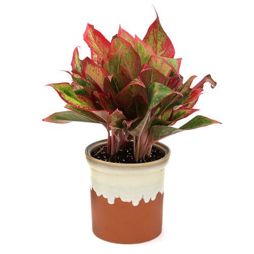 Exotic Green Indoor Plant Red Aglaonema In Pot Egrabc