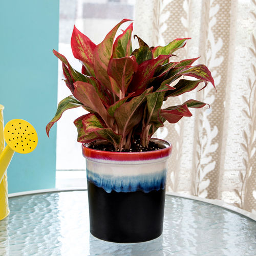 Home Exotic Green Indoor Plant Red Aglaonema In Pot Zoom