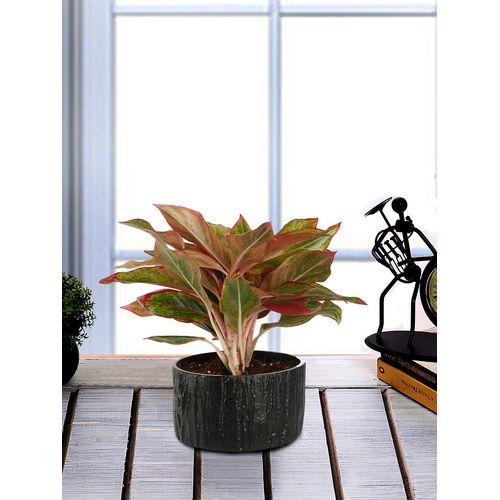 Exotic Green Indoor Plant Red Aglaonema In Pot Egrabc English Purple