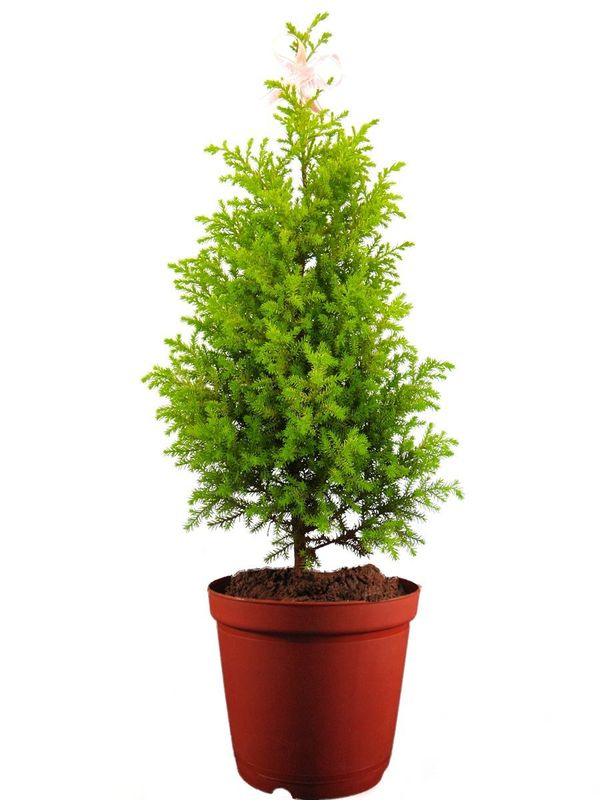 rolling nature christmas tree - Christmas Tree Plant