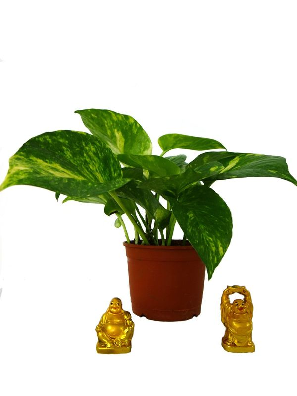 Good Luck Money Plant Laughing Buddha Combo