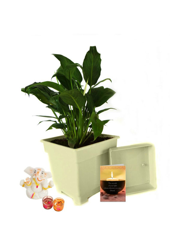 Good Luck Peace Lily in White Square Colorista Pot and Ganesha with Candle Combo