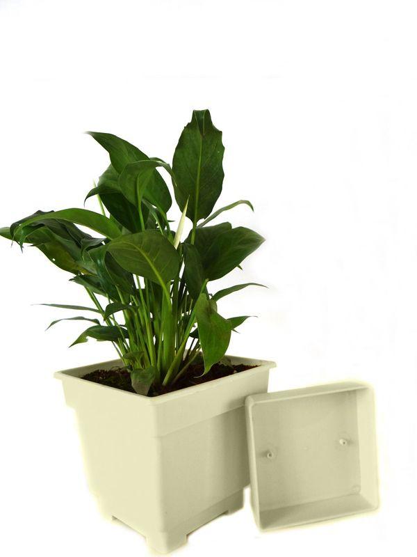 Good Luck Peace Lily in White Square Colorista Pot