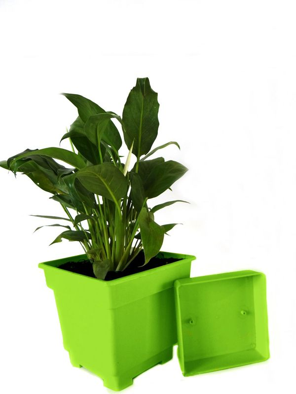 Good Luck Peace Lily in Green Square Colorista Pot