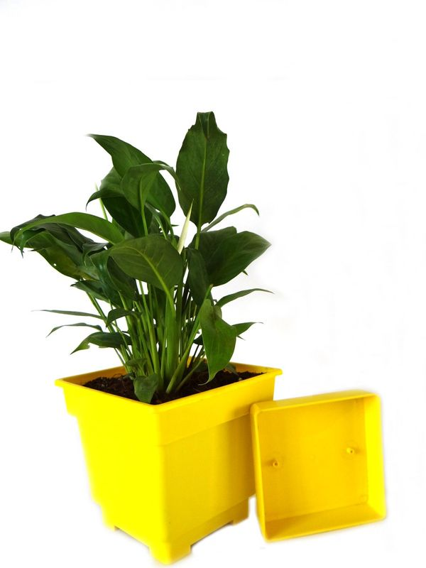 Good Luck Peace Lily in Yellow Square Colorista Pot