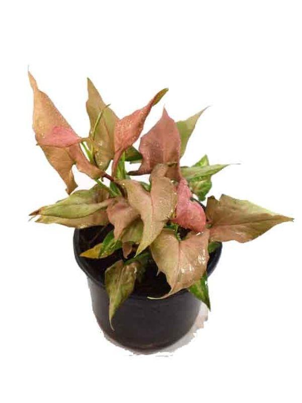 Syngonium Pink Narrow Leaves