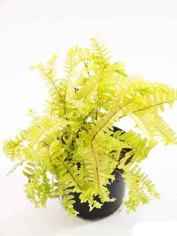 Golden Fern