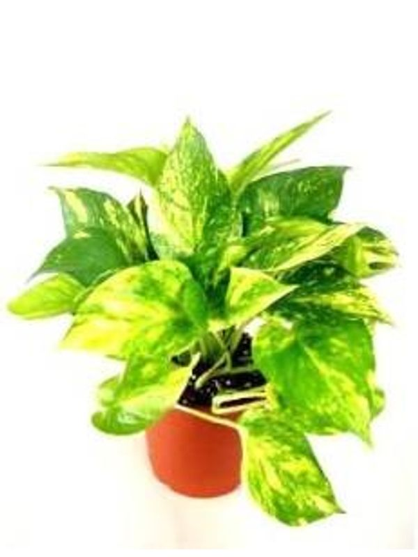 Good Luck Money Plant Hybrid Indoor Plant