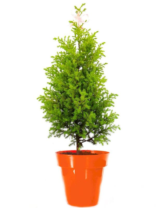 Christmas Tree in Orange Colorista Pot