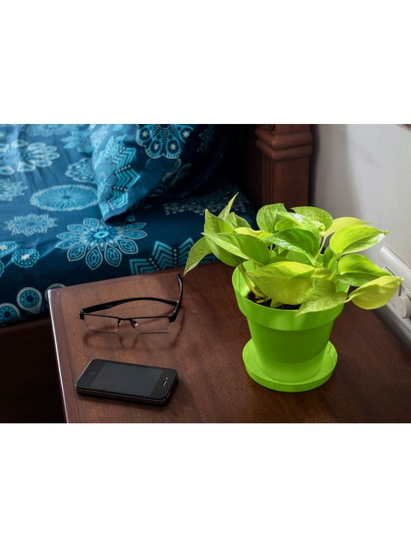 Good Luck Golden Money Plant in Green Colorista Pot