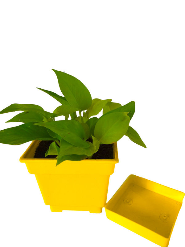 Good Luck Golden Money Plant In Yellow Square Colorista Pot