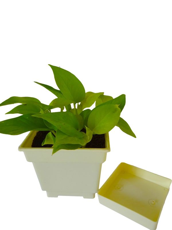 Good Luck Golden Money Plant in White Square Colorista Pot