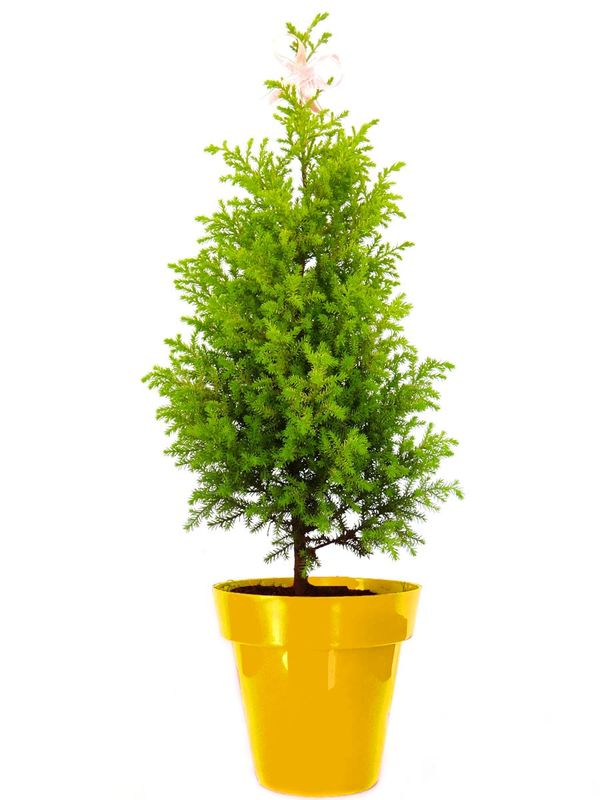 Christmas Tree in Yellow Colorista Pot
