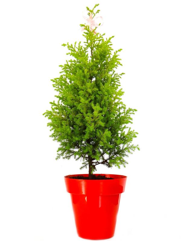Christmas Tree in Red Colorista Pot
