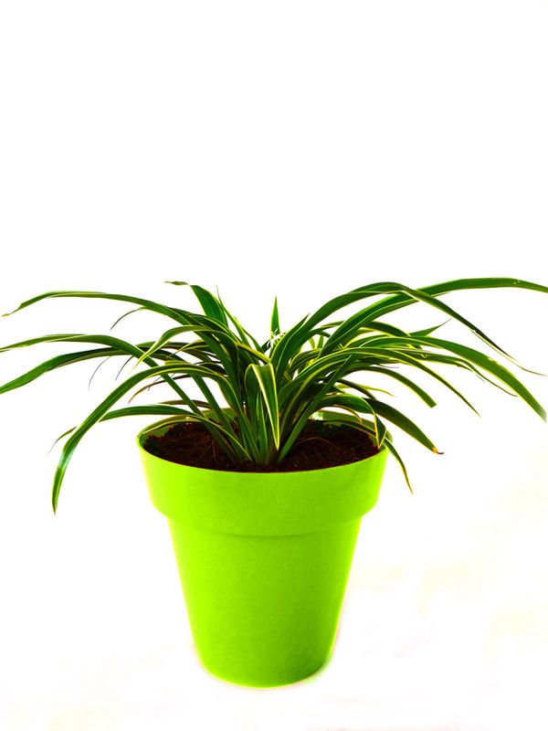 Spider Plant in Green Colorista Pot