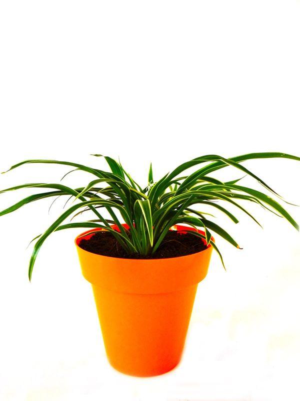 Spider Plant in Orange Colorista Pot